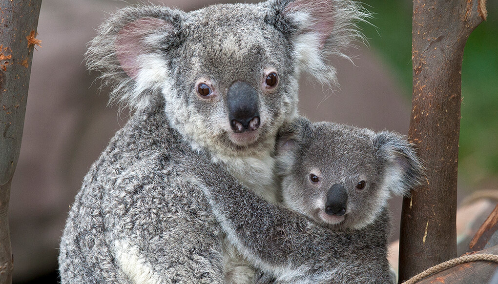 spring daylight saving lose an hour of sleep but save a koala. Black Bedroom Furniture Sets. Home Design Ideas